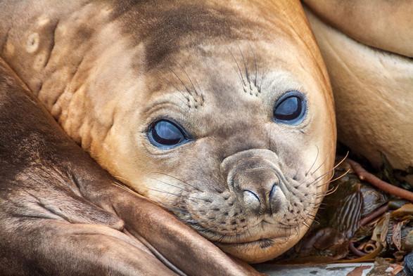 Elephant-seal.jpg