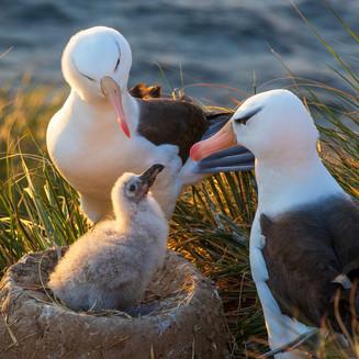 Black-browed albatross family