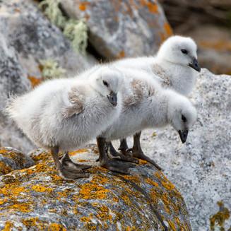 Kelp geese goslings