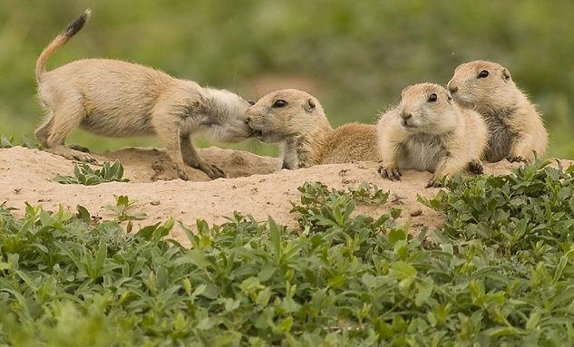prairie-dogs-938578_960_720.jpg