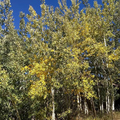 The Aspen's are turning! Did you know on