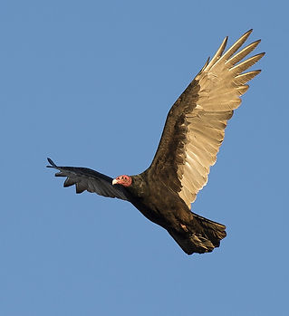 turkey-vulture-1109036_1280.jpg