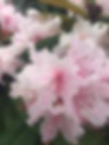 pink rhododendron.JPG