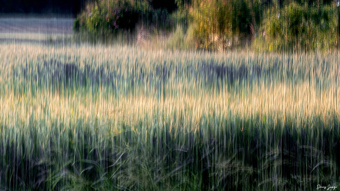 Derniers rayons de soleil sur le champ de blé