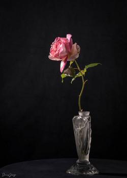 La dernière rose du jardin