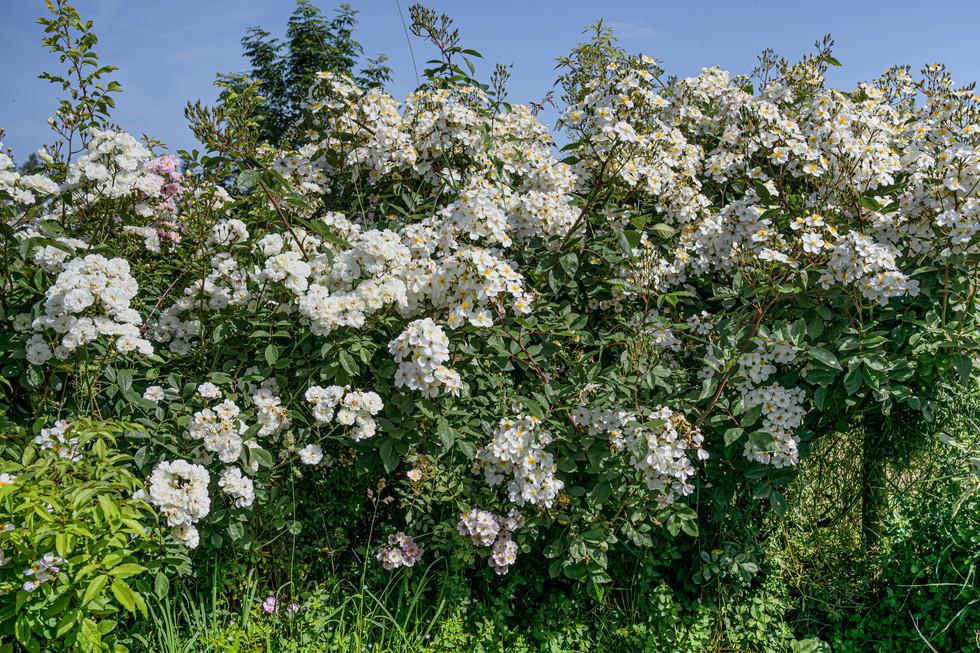 Arbuste blanc à fleurs parfumées