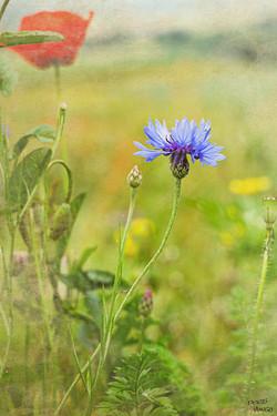 Un pré fleuri