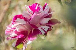 Rose créée par Ph. Dousse