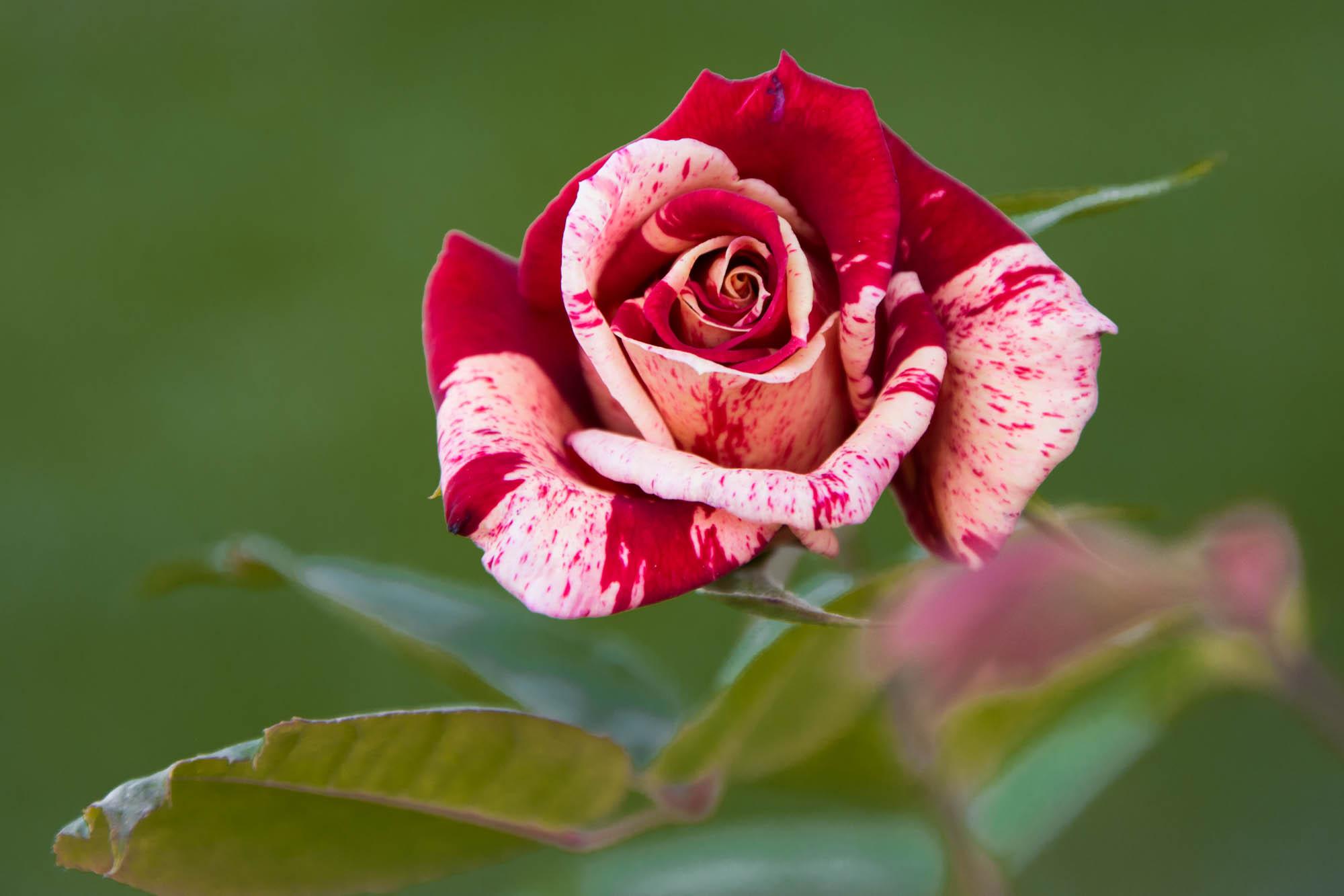 Rose créée par Philippe Dousse