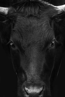 La vache de Mr Givel