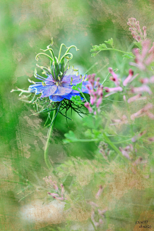 Nigelle bleue