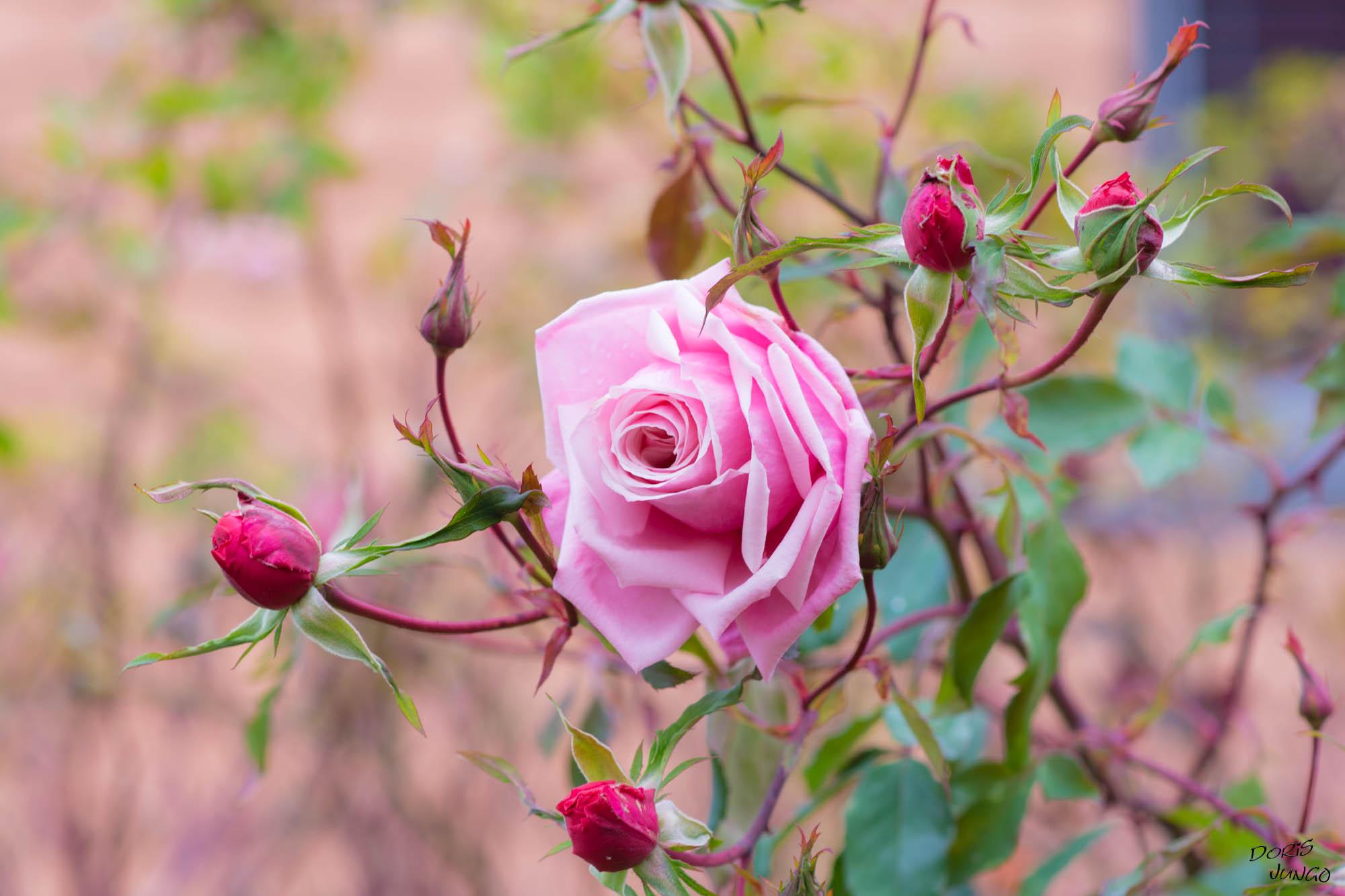 "La vie en ""roses"""