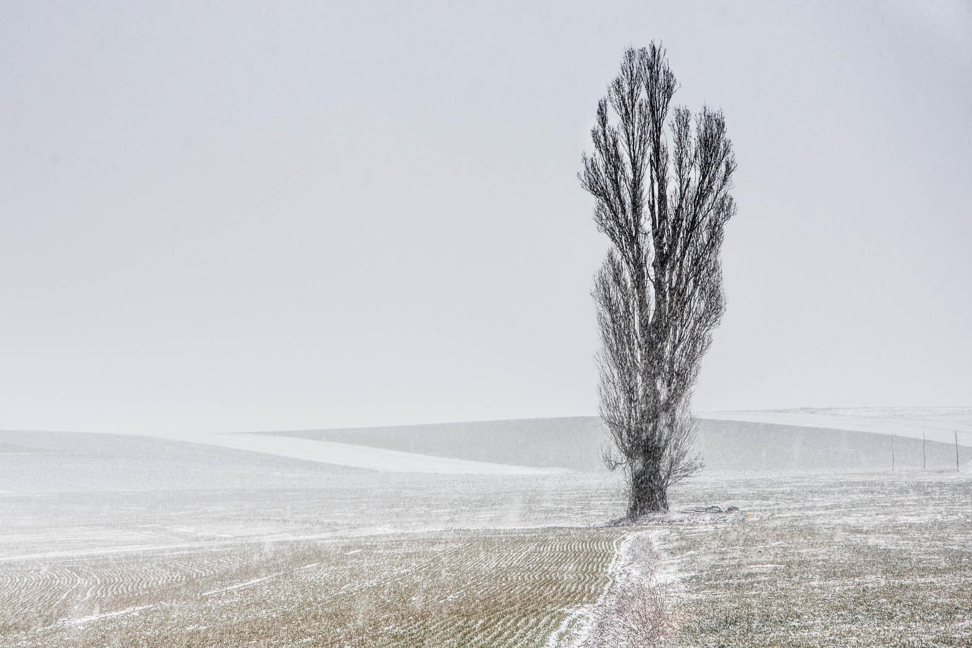 Il neige sur le peuplier