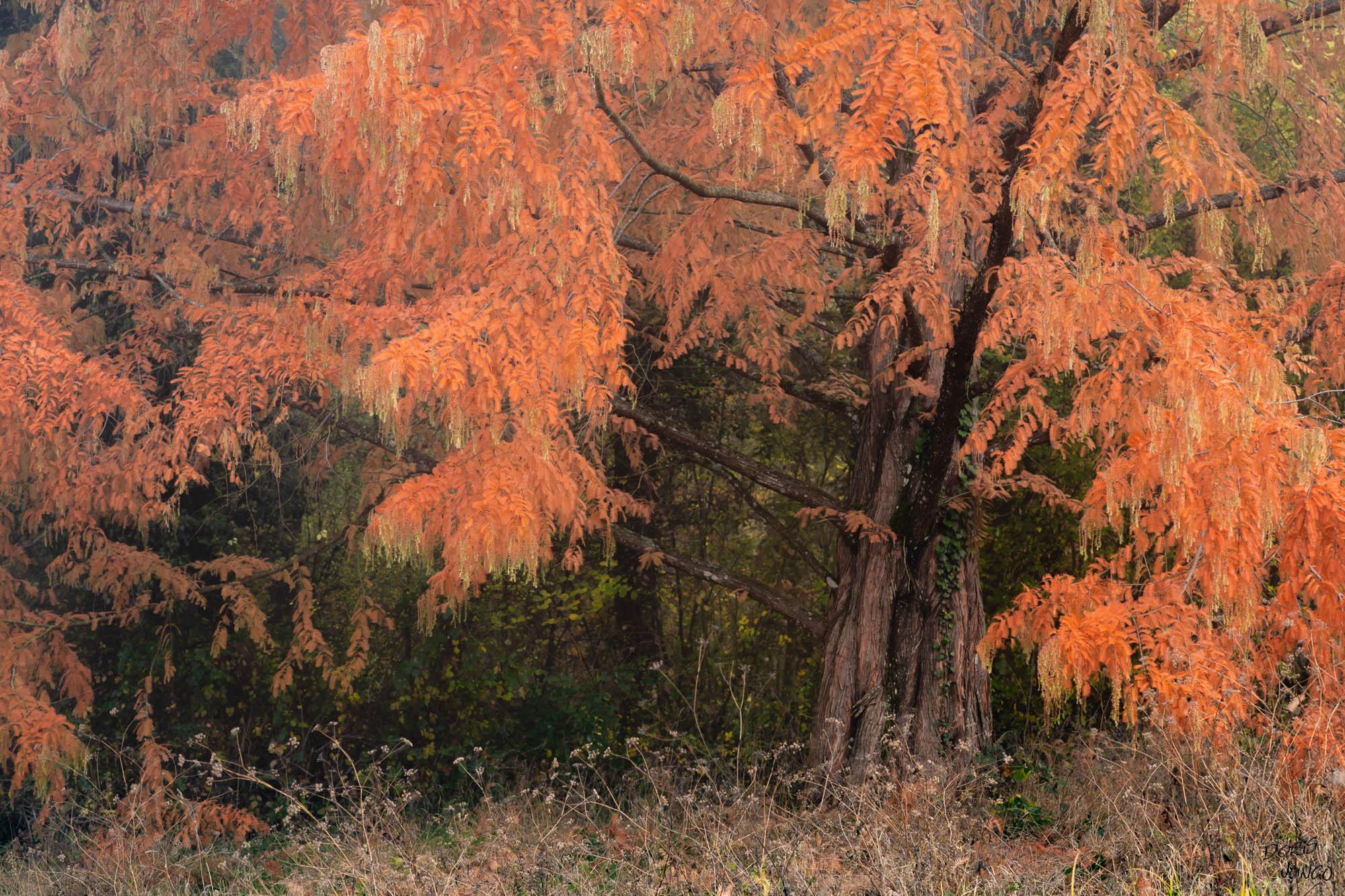 Le vieux mélèze en automne