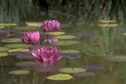 Fleurs d'eau