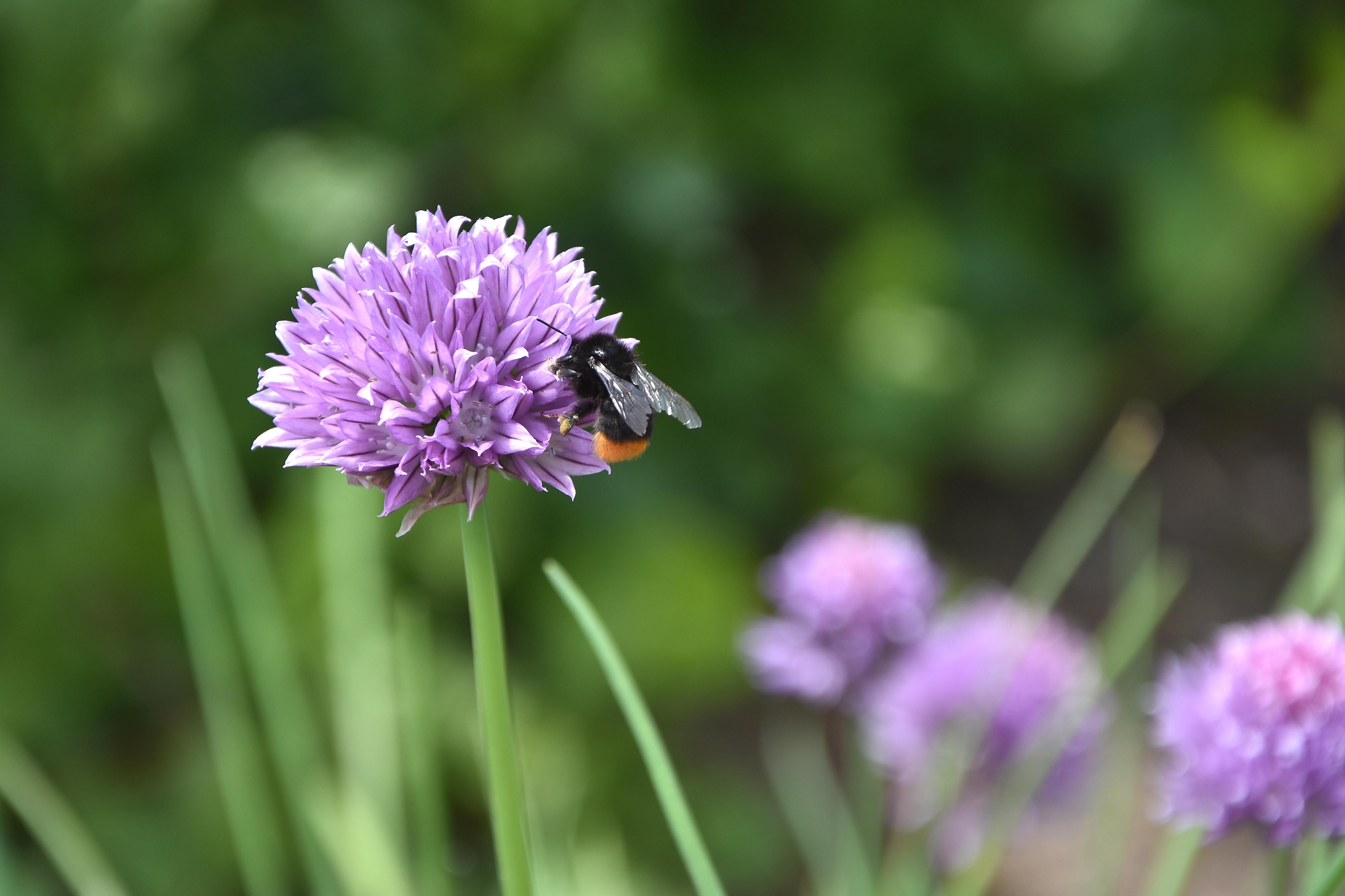 La fleur de ciboulette