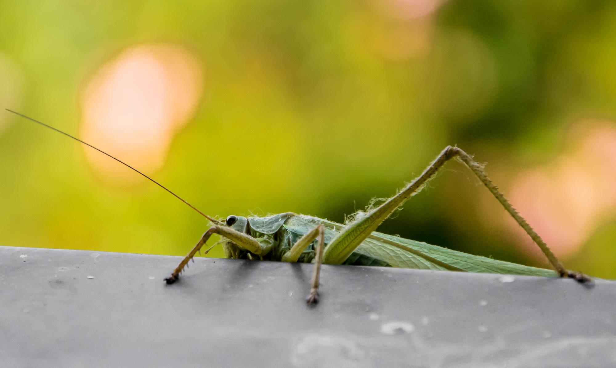 Visite d'une belle sauterelle