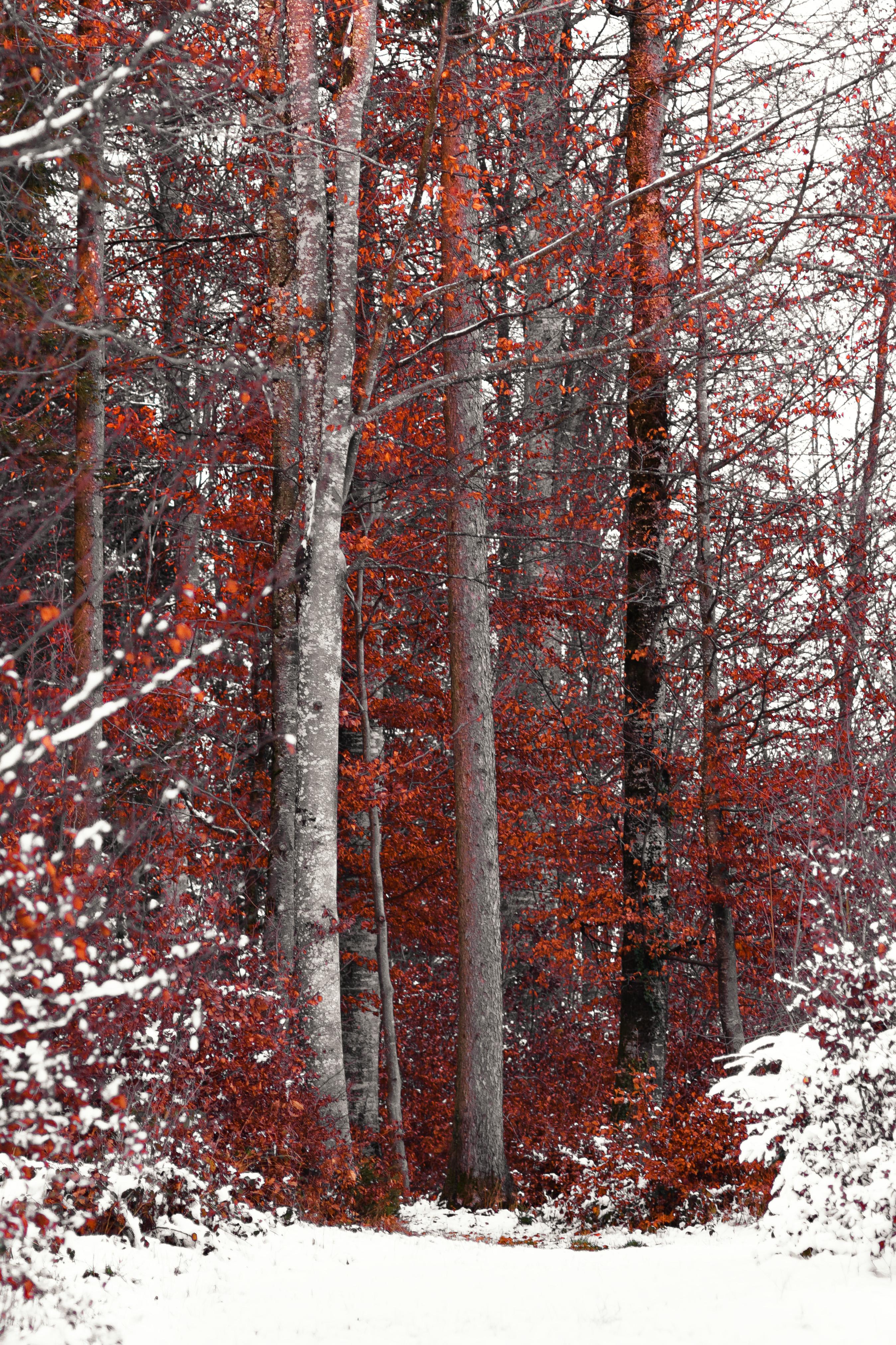 Les arbres rouges