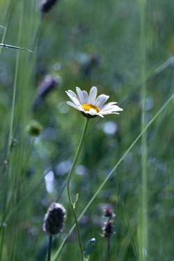 Marguerite du mois de mai