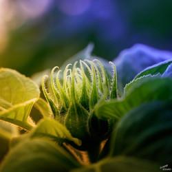 Les tentacules du tournesol