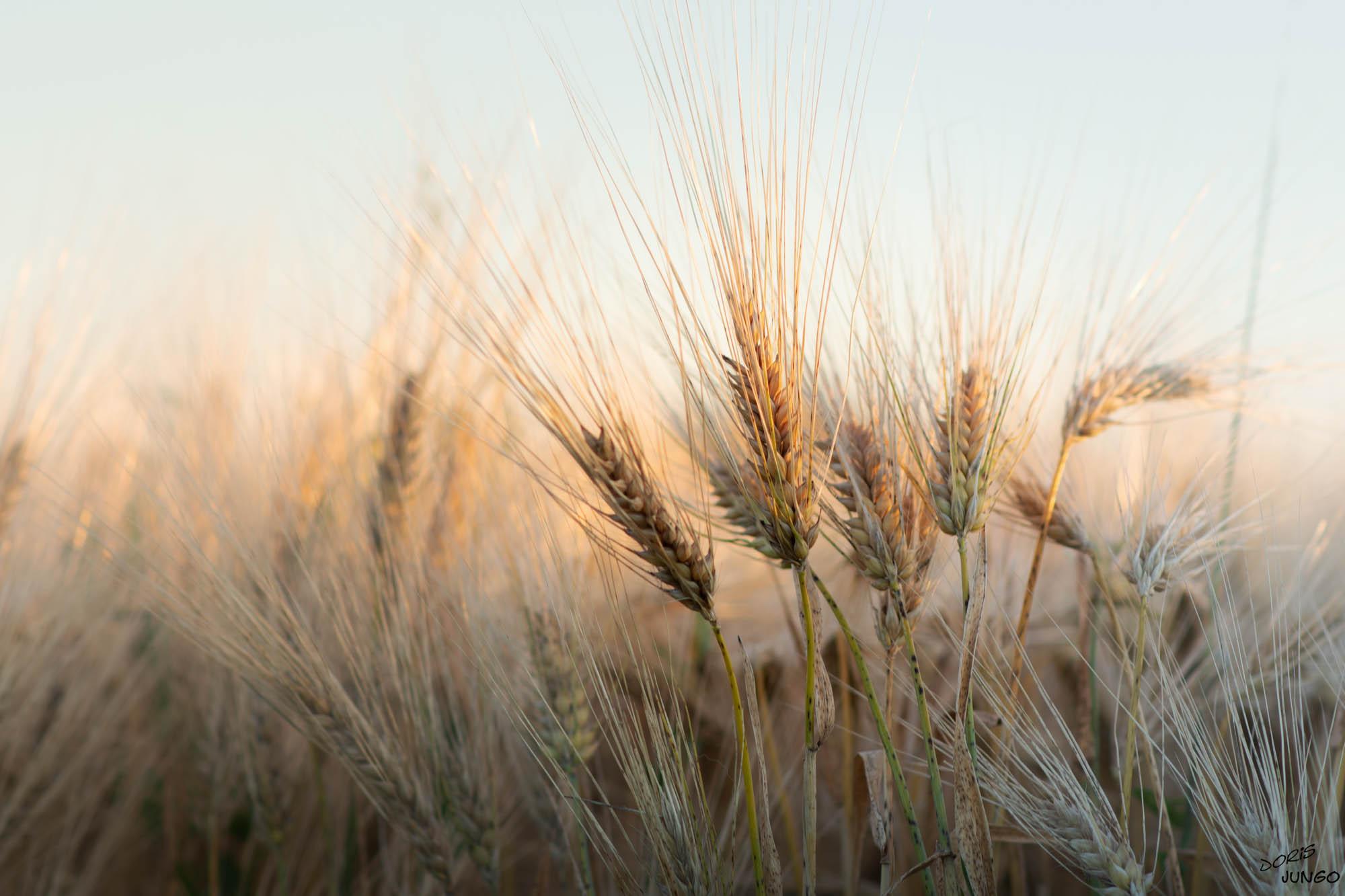 Les blés au début de l'été