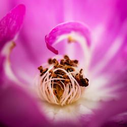 Le cœur d'une rose