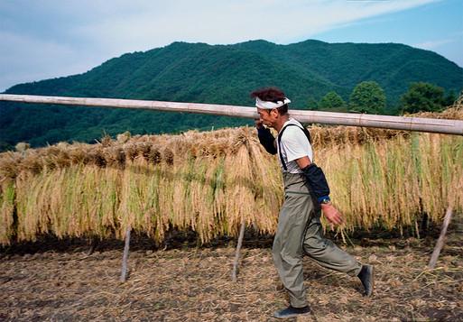 MT Hakushu harvest 2.jpg