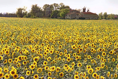 provence sunflowers.jpg