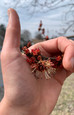 Red Maple: The Unheralded Harbinger of Spring