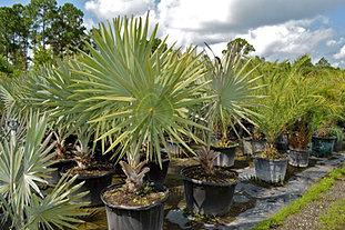 Valkaria Gardens Palm Trees Sebastian Fl