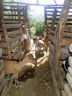 Animal Husbandry in Haiti