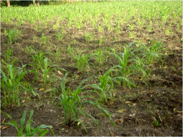 Sprouting crops
