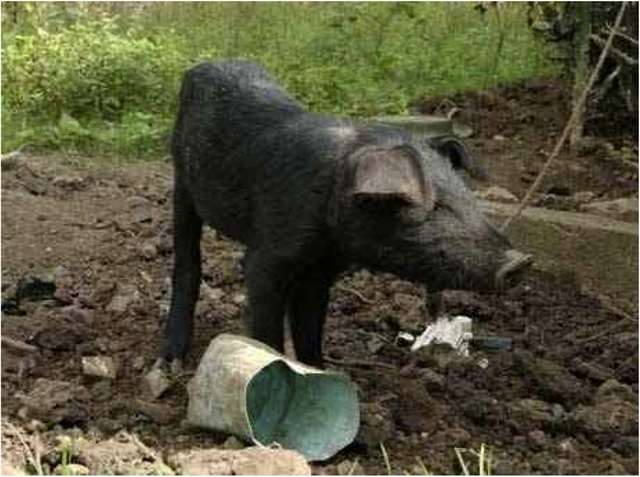 Pig Breeding Projects