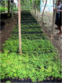 Tree Nursery in Southwest Haiti