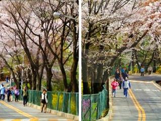 Цветение вишни и форзиции на горе Намсан