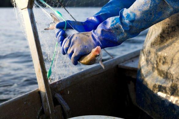 Entfernen der Fische aus den Netzen