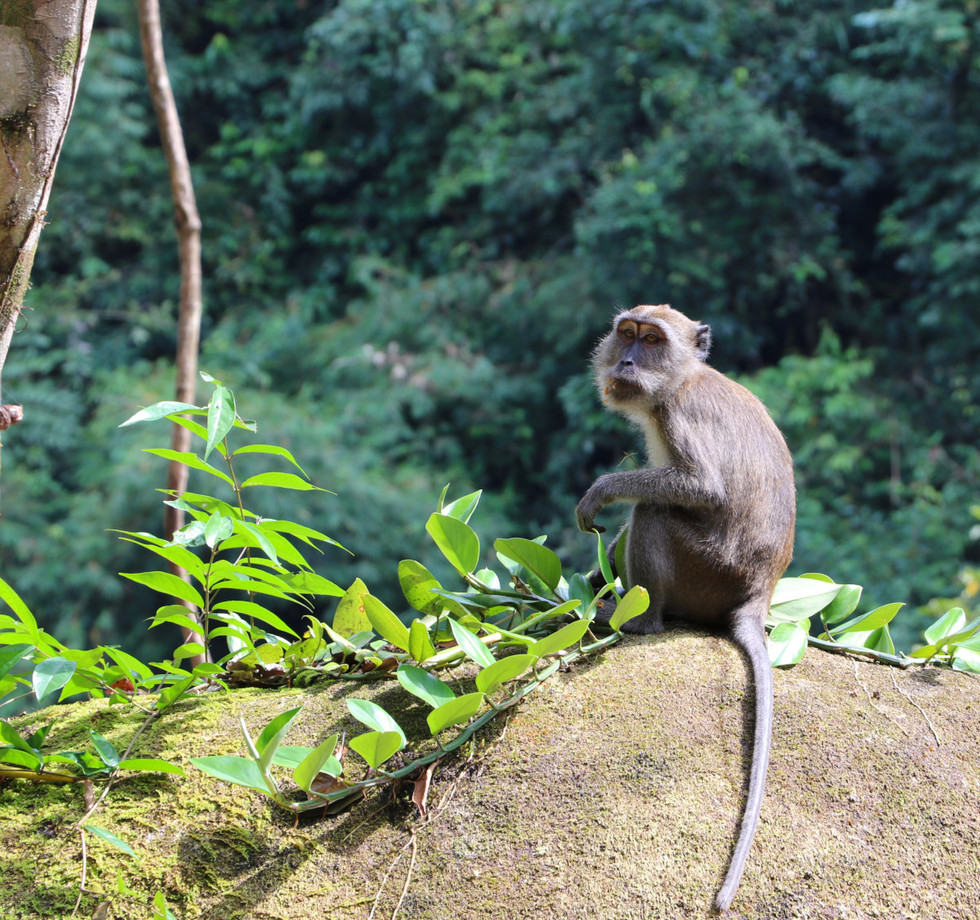 Jungle-walk-cooking-monkey-macaque.JPG