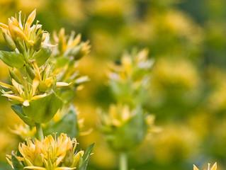 Plantas para regular la digestión y el tránsito intestinal