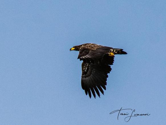 Loimovuori Photography - eagle.jpg