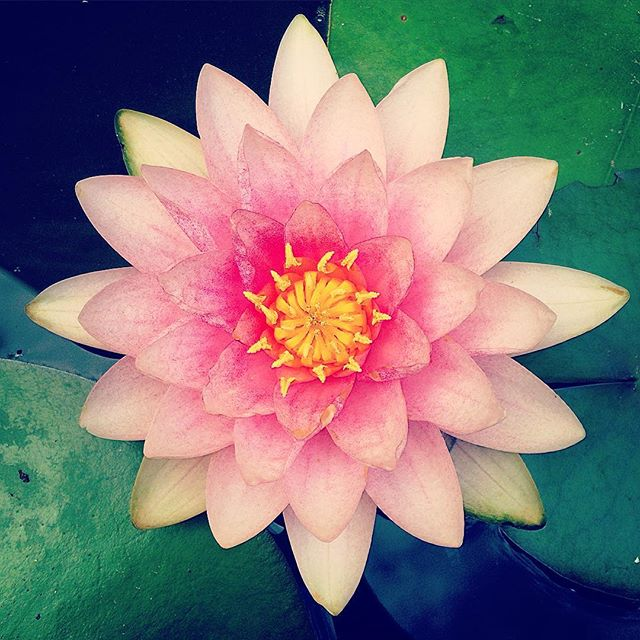 A good morning Lotus from my pond