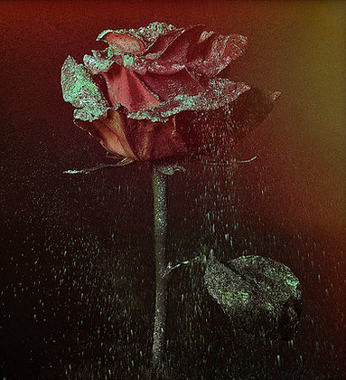 Rose / Fine art photograph / lars H / 4 of 20.