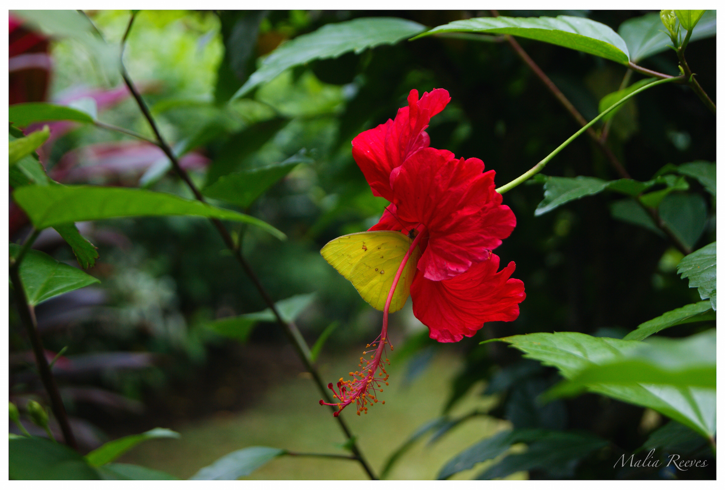 Hibiscus Butterfly