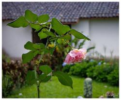 Orosi Rose
