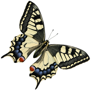 beautiful_butterfly_by_pngimagesfree.png