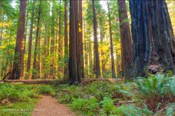 Humboldt Redwoods - 8181