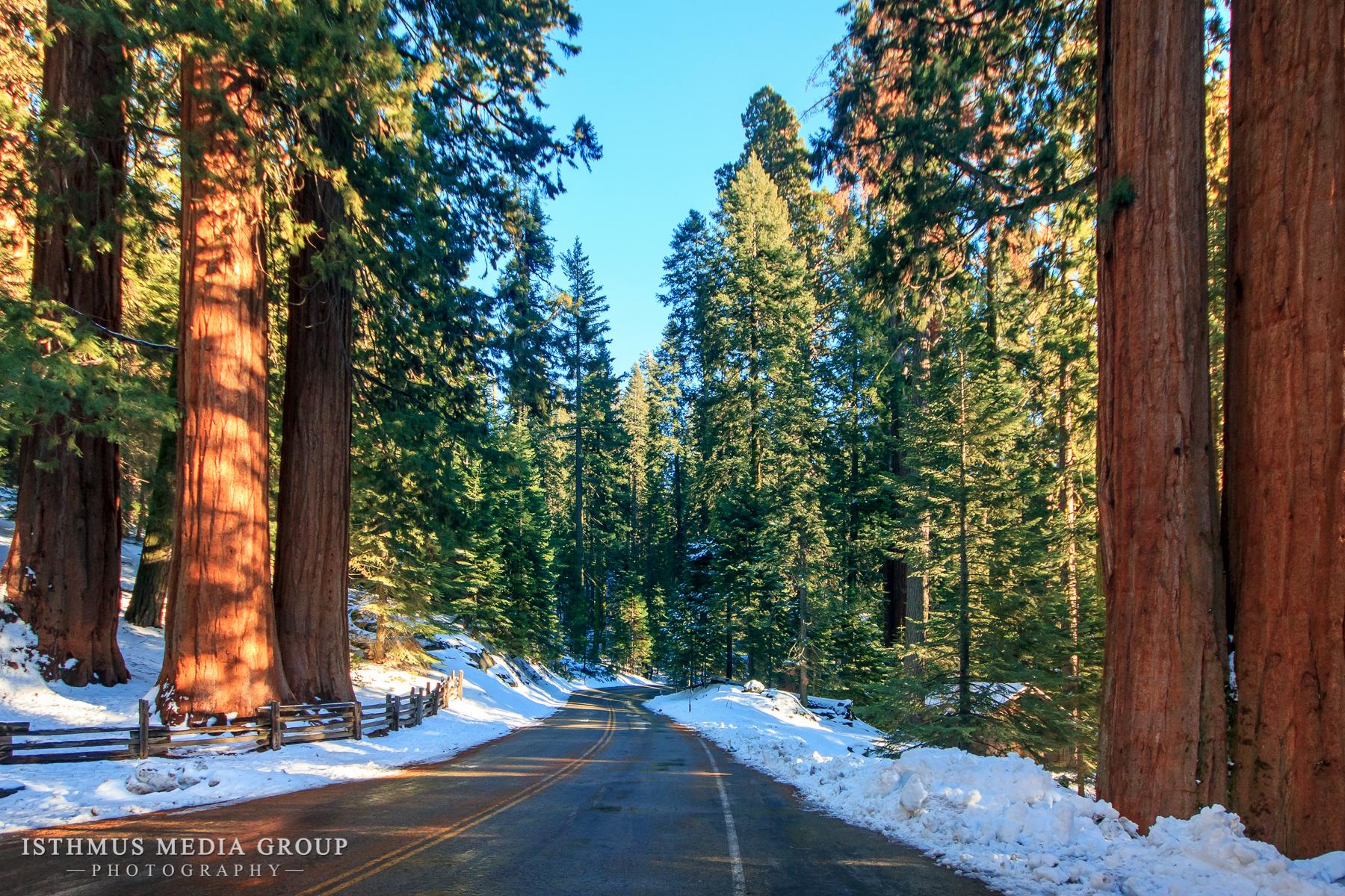 Giant Sequoia - 1287