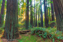 Humboldt Redwoods - 8190