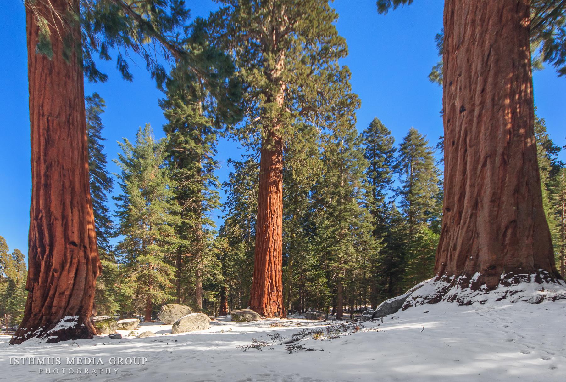 Giant Sequoia - 1394