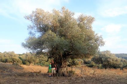 Die Olivenbäume in Kerem Maharal