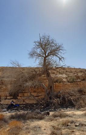 Plantane auf dem Wanderweg von Lodz Zisternen/Negevwüste